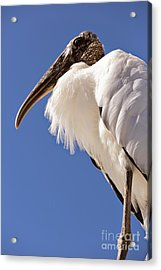 Wonderful Wood Stork Acrylic Print by Carol Groenen