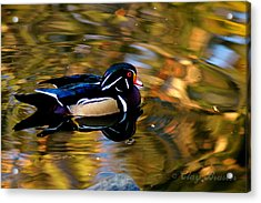 Wood Duck Acrylic Print by Clayton Bruster