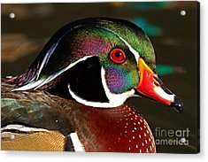 Wood Duck Courtship Colors Acrylic Print by Max Allen