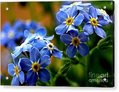 Wood Forget Me Not Blue Bunch Acrylic Print by Ryan Kelly