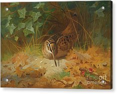 Woodcock Acrylic Print by Celestial Images