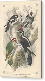 Woodpeckers Acrylic Print by Oliver Goldsmith