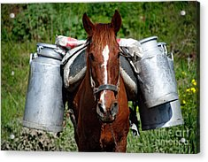 Work Horse At The Azores Acrylic Print by Gaspar Avila