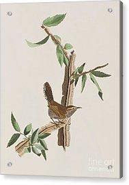 Wren Acrylic Print by John James Audubon