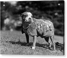 Wwi, Sergeant Stubby, American War Dog Acrylic Print by Science Source