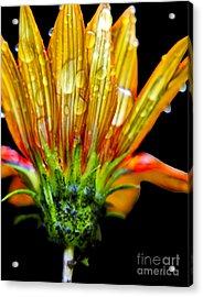 Yellow And Orange Wet Zinnias. Acrylic Print by Elizabeth Greene