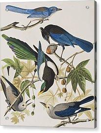 Yellow-billed Magpie Stellers Jay Ultramarine Jay Clark's Crow Acrylic Print by John James Audubon