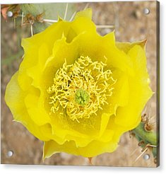 Yellow Cactus Flower Acrylic Print by Mario Bonaparte