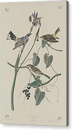 Yellow-crown Warbler Acrylic Print by John James Audubon