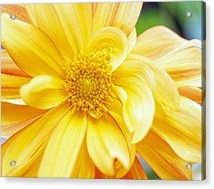 Yellow Dahlia Acrylic Print by Kathy Yates