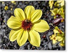 Yellow Dahlia Acrylic Print by Keith Ducker