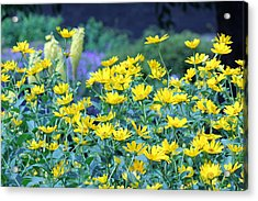 Yellow Everywhere Acrylic Print by Becky Lodes