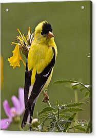 Yellow Finch - Color Impact - Artist Cris Hayes Acrylic Print by Cris Hayes