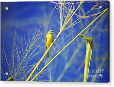 Yellow Fronted Canary Acrylic Print by Bob Abraham - Printscapes