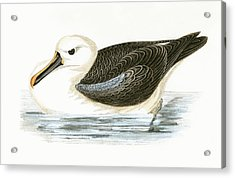 Yellow Nosed Albatross Acrylic Print by English School
