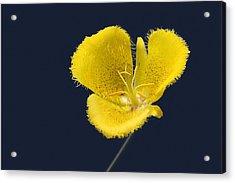 Yellow Star Tulip - Calochortus Monophyllus Acrylic Print by Christine Till