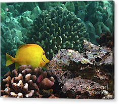 Yellow Tang On The Reef Acrylic Print by Bette Phelan