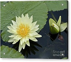 Yellow Water Lily With Bud Nymphaea Acrylic Print by Heiko Koehrer-Wagner