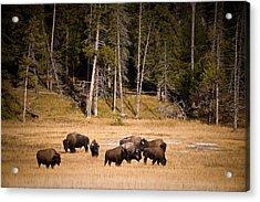 Yellowstone Bison Acrylic Print by Steve Gadomski