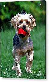 Yorkshire Terrier Acrylic Print by Andrew Michael