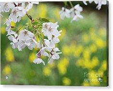 Yoshino Cherry Tree Blossom Acrylic Print by Tim Gainey
