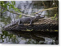 Young Alligator Acrylic Print by Brian Jannsen