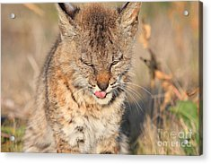 Young Bobcat 02 Acrylic Print by Wingsdomain Art and Photography