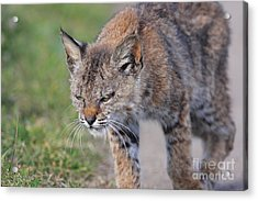 Young Bobcat 03 Acrylic Print by Wingsdomain Art and Photography