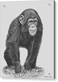 Young Chimpanzee 2 Acrylic Print by Larry Linton
