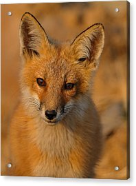 Young Fox Acrylic Print by William Jobes