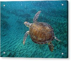 Young Green Turtle Acrylic Print by Kimberly Mohlenhoff