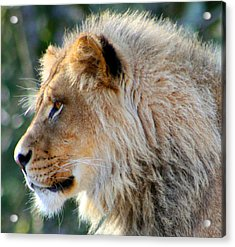Young King Close Up Acrylic Print by Nick Gustafson