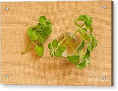 Young Mexican Mint Seedlings Acrylic Print by Arletta Cwalina
