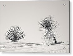 yucca in White sands Acrylic Print by Ralf Kaiser