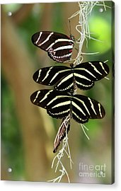 Zebra Butterflies Hanging On Acrylic Print by Sabrina L Ryan