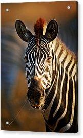 Zebra Close-up Portrait Acrylic Print by Johan Swanepoel