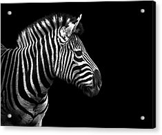 Zebra In Black And White Acrylic Print by Malcolm MacGregor