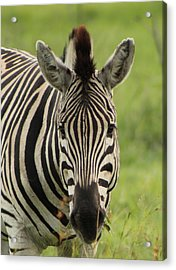 Zebra Looking At You Acrylic Print by Denise Dean