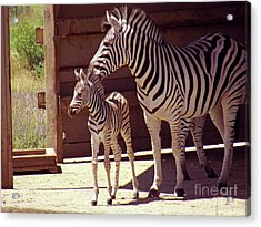 Zebra Mom And Baby Acrylic Print by Methune Hively