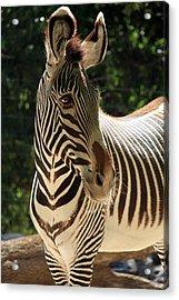 Zebra Portrait Acrylic Print by Aidan Moran