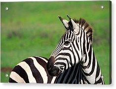 Zebra Acrylic Print by Sebastian Musial