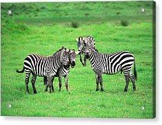 Zebras Acrylic Print by Sebastian Musial
