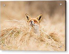 Zen Fox Series - Zen Fox 2.7 Acrylic Print by Roeselien Raimond