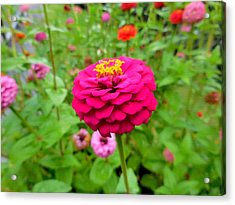 Zinnia Flower 11 Acrylic Print by Lanjee Chee