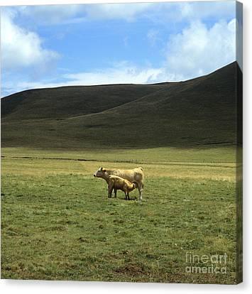 Cow And Calf. Aubrac . France. Canvas Print by Bernard Jaubert
