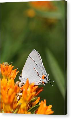 Gray Hairstreak On Butterfly Weed Canvas Print by Dick Todd