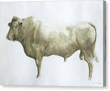 Islay Bull Canvas Print by Lincoln Seligman