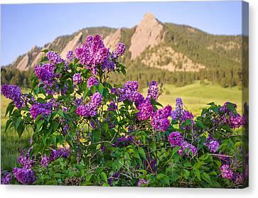 Lilac Flowers - Boulder Colorado Canvas Print by Aaron Spong