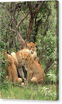 Masai Mara Lion Cubs Canvas Print by Aidan Moran