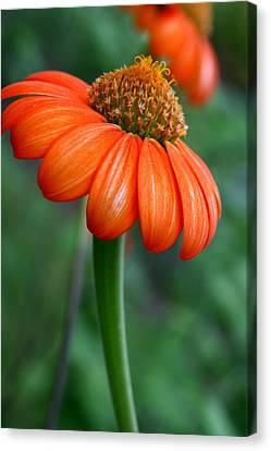 Mexican Sunflower  Canvas Print by Neal  Eslinger